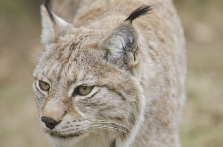 Eurasian lynx walking and watching out for food photo