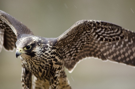 Detail of a young Merlin, Falco columbarius