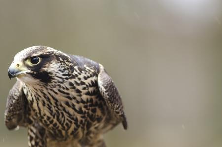 mago merlin: Detalle de una joven Merlin, Falco columbarius