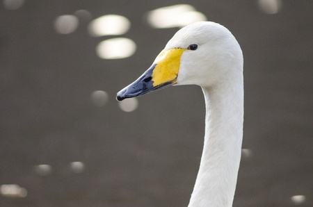 Head of a Whooper Swan, Cygnus cygnus photo