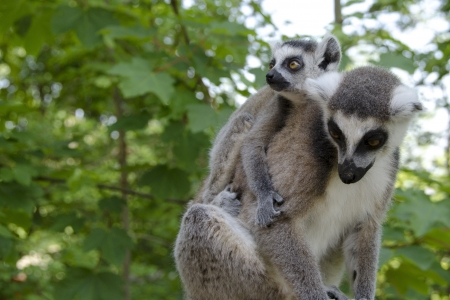 ring tailed: Ring tailed lemur, lemur catta mother with juvenile