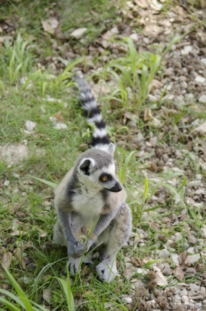 ring tailed: Ring tailed lemur, Lemur catta sitting on the ground Stock Photo