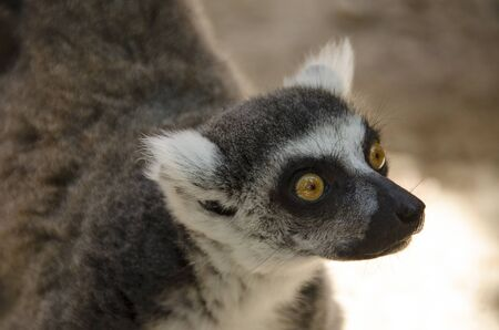 ring tailed: Head of a ring tailed lemur, Lemur catta looking upwards