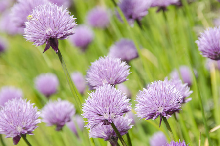 Flowering purple chive blossoms, Allium schoenoprasum a fresh herb photo