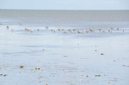 wadden: Black-tailed Godwit, Limosa limosa feeding in the Wadden Sea Stock Photo