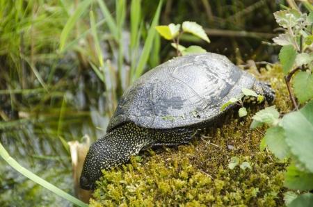 emys: European pond turtle, Emys orbicularis on moss at a pond