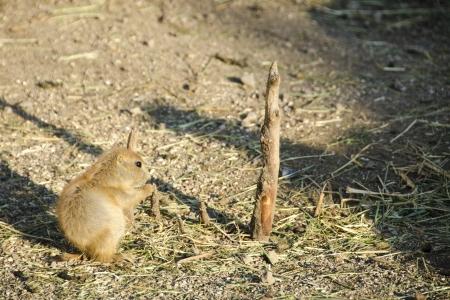 wilding: Black-tailed prairie dog, Cynomys ludovicianus, sitting on the ground