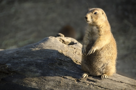 Black-tailed prairie dog, Cynomys ludovicianus, sitting on the ground photo