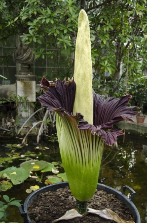 Amorphophallus titanum known as the titan arum or corpse flower, is a flowering plant with the largest unbranched inflorescence in the world in the Botanical Garden of Copenhagen, Denmark, 2012 Editorial