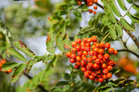 sorbus aucuparia: Sorbus aucuparia, rowan or mountain-ash with orange berries in summer
