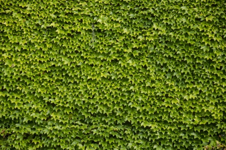 Green wall background of Parthenocissus tricuspidata known as Japanese creeper, Boston ivy, Grape ivy, Japanese ivy, and woodbine