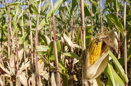 zea mays: Ripe corn plant with corncob, Zea mays