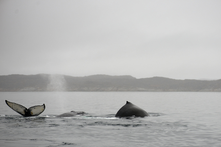 Humpback whales, Megaptera novaeangliae, showing blowhole, tail and dorsal fin