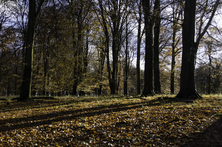 yelllow: Beech forest in late autumn with sunlight and yelllow leaves Stock Photo