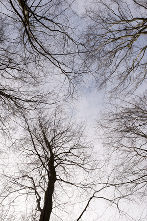 Deciduous beech forest canopy as seen from below in winter without leaves photo