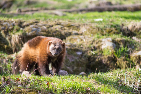 wolverine: Wolverine sitting on a meadow Stock Photo