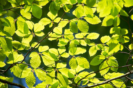 beech tree: Branch of a beech tree with leaves in spring on a sunny day