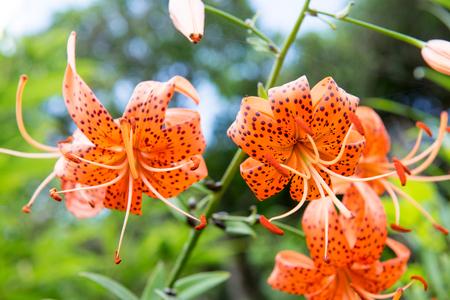 Flowers of the Tiger lily, Lilium lancifolium in South Korea