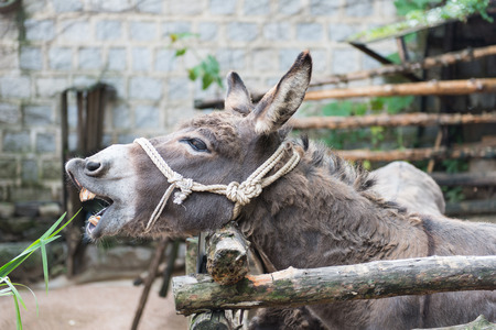 ears donkey: Grey donkey in tis enclosure with rope around the head as halter eating grass