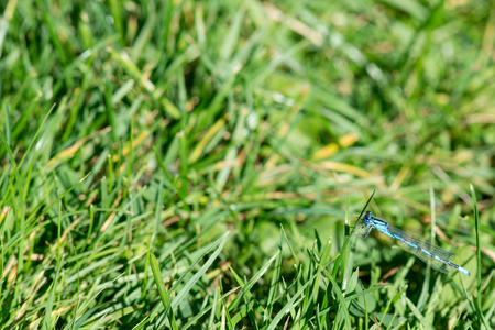 zygoptera: Coenagrion Dragonfly sitting on a leaf of green grass