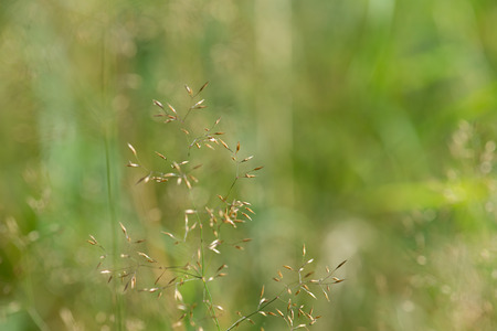 panicle: Green background of a grass panicle, plant detail