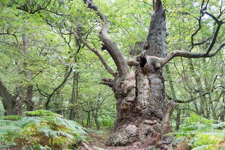 Big old oak tree on the island Vilm in Germany photo