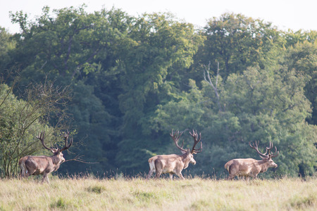 Three male red deer walking across a meadow in a forest Stock Photo