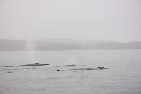 megaptera novaeangliae: Humpback whales, Megaptera novaeangliae, in the ocean around Greenland as seen from above the water surface