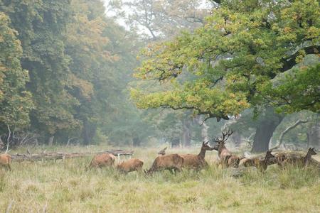 cervus elaphus: A herd of red deer, Cervus elaphus in autumn with stag and hinds