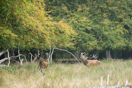 bellowing: Male red deer, Cervus elaphus, bellowing and chasing females in a forest in autumn