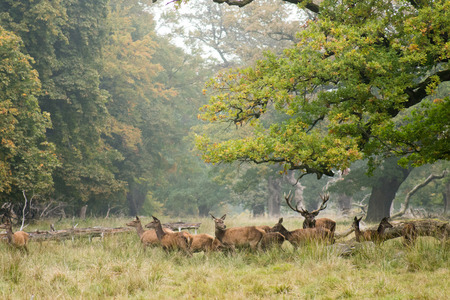 elaphus: A herd of red deer, Cervus elaphus in autumn with stag and hinds