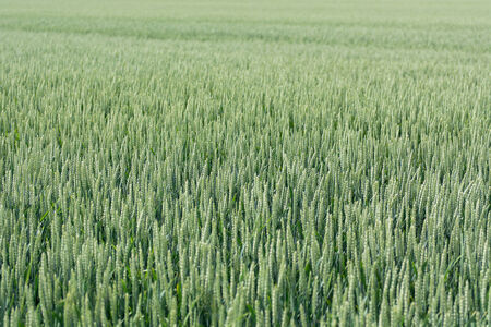 secale: A green field of flowering rye, Secale cereale in summer Stock Photo