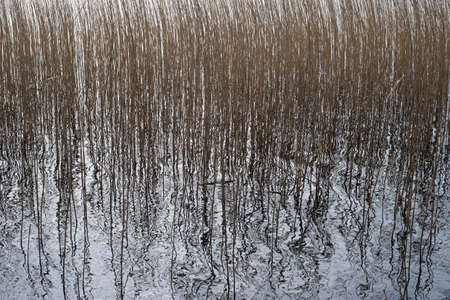 phragmites: Background pattern of common reed, Phragmites, in a lake Stock Photo