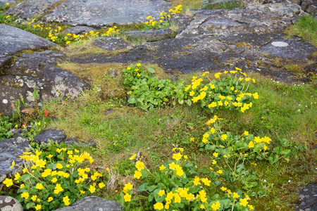 palustris: Caltha palustris the national flower of the faroe islands known as marsh-marigold and kingcup Stock Photo