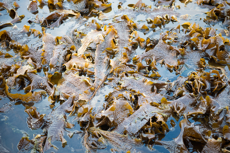 spring tide: Laminaria algae in water at low tide with many stalks and leaves Stock Photo