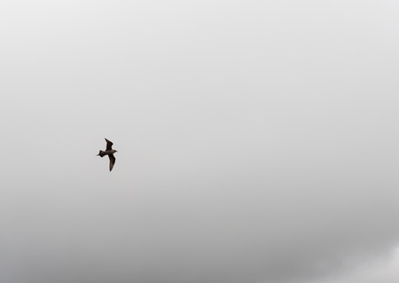 stercorarius: Arctic skua, Stercorarius parasiticus, flying in front of a cloudy sky on the faroe islands
