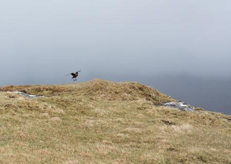 stercorarius: Skua landing on a meadow on the Faroe Islands