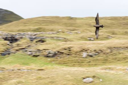 stercorarius: Flying arctic skua on the Faroe Islands, with green grass and rocks in the background