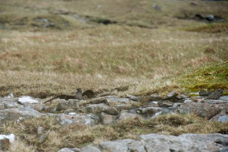 stercorarius: Skua on the ground on the Faroe Islands with open beak