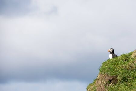 fratercula: Atlantic puffin, Fratercula arctica sitting on a cliff on the Faroe Islands with cloudy sky in the background