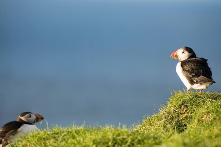 fratercula: Atlantic puffins, Fratercula arctica sitting on a cliff on the Faroe Islands with ocean in the background Stock Photo