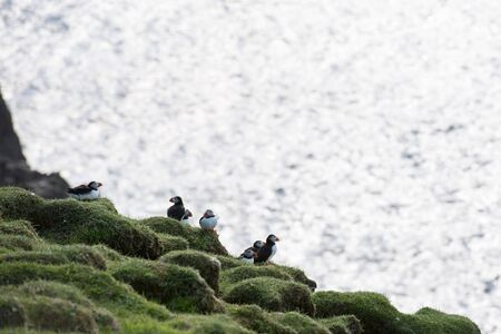 arctica: Atlantic puffins, Fratercula arctica sitting on a cliff on the Faroe Islands with ocean in the background Stock Photo