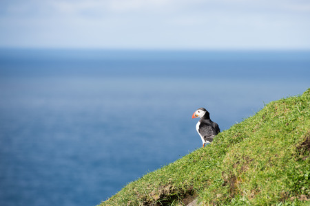 arctica: Atlantic puffin, Fratercula arctica sitting on a cliff on the Faroe Islands with ocean in the background Stock Photo
