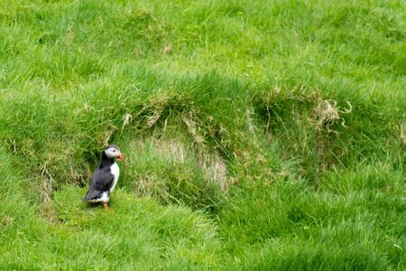 arctica: Atlantic puffin, Fratercula arctica sitting on grass on the Faroe Islands