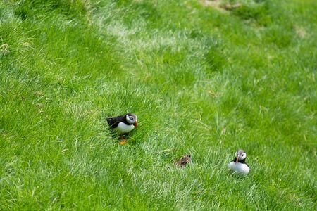 fratercula: Atlantic puffins, Fratercula arctica sitting on grass on the Faroe Islands Stock Photo
