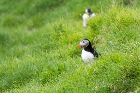 puffins: Atlantic puffins, Fratercula arctica sitting on a cliff on the Faroe Islands with ocean in the background Stock Photo