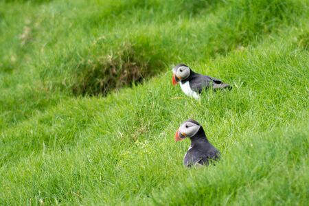 burrows: Atlantic puffins, Fratercula arctica sitting on grass in front of their breeding  burrows