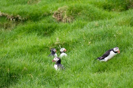 arctica: Atlantic puffins, Fratercula arctica sitting on grass in front of their breeding  burrows