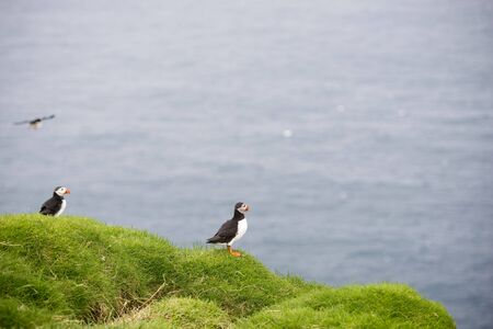 burrows: Atlantic puffins, Fratercula arctica sitting on a cliff in its colony on the Faroe Islands
