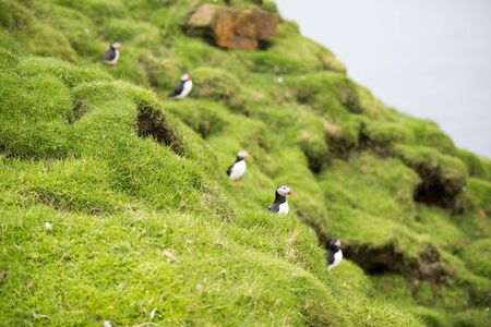 arctica: Atlantic puffins, Fratercula arctica sitting on a cliff in its colony on the Faroe Islands